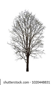 Dead tree without leaves isolated from white background.