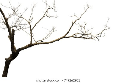 Dead tree without leaves isolated on white background