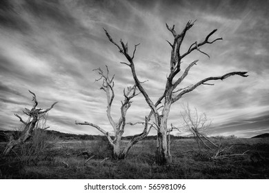 Dead Trees in black and white