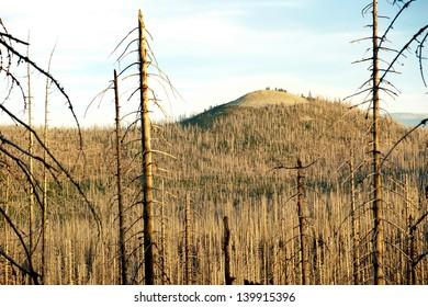 Dead trees in european wildwood around Luzny hill, Sumava
