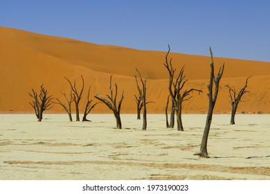 Dead Trees in front of orange sand dune and blue sky at Deadvlei in Namib-Naukluft National Park, Sesriem, Namibia