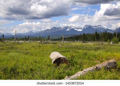 Dead trees in Glacier national park
