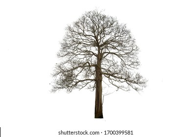 Dead trees isolated on a white background