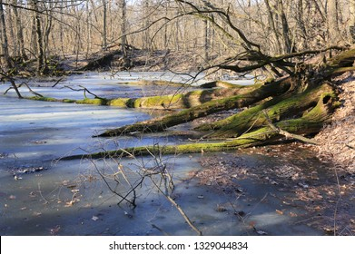 dead trees on frozen swamp in sunny spring day