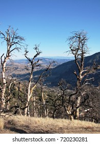Dead trees on a hill side in the winter, California