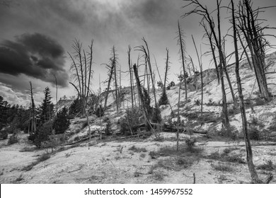 Dead trees on a hill in Yellowstone National Park.  Black and White.  Stark.