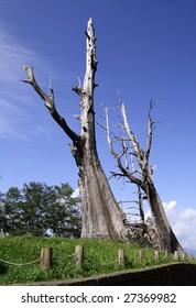 dead trees on Jade Mountain