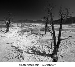 Dead Trees on Thermal Salty Land of Mammoth Hot Springs, Yellowstone National Park, Wyoming