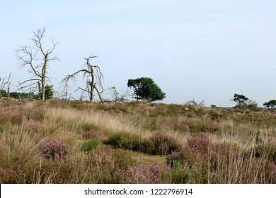 dead trees and purple moor grass in cross border park the Zoom and Kalmthout heath,Belgium, the Netherlandscross border park the Zoom and Kalmthout heath,Belgium, the Netherlands