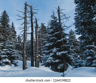 Dead trees in snow-covered winter forest