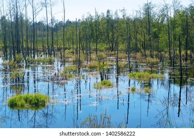 dead trees in the swamp, wild picturesque wetland