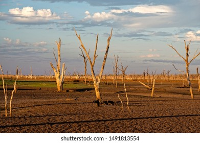 Dead trees at the wasteland of Lake Argyle at sunset with claudy sky as background at the outback in Australia with copy space