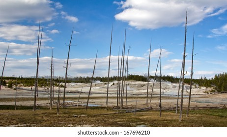 Dead Trees in Yellowstone National Park, Wyoming, USA