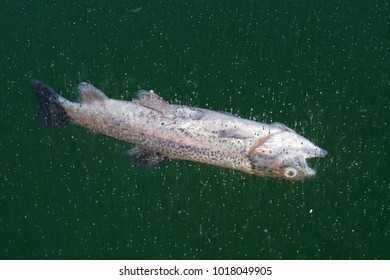 dead trout frozen in the ice on the surface of a mountain lake