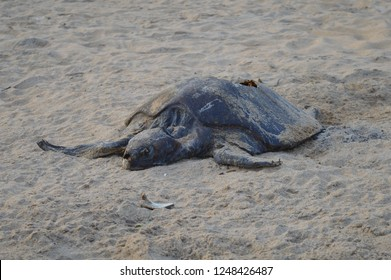 Dead turtle on the shore