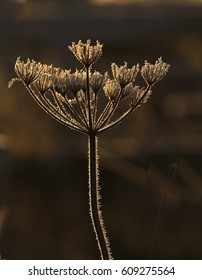 Dead Umbellifer seed head backlit in the early morning sun, Gloucestershire, England, UK.
