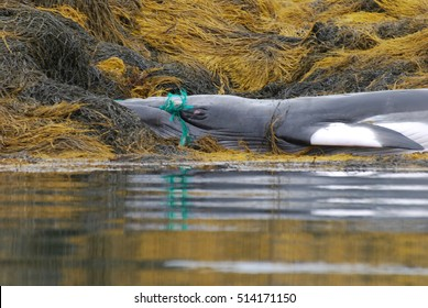 Dead whale on a reef in Maine with his mouth caught in a fishing net.