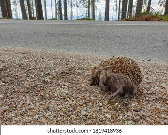 Dead wild hedgehog killed by car in nature. Roadkill animal victim of traffic in natural environment. Dead wildlife as consequence of overpopulation.