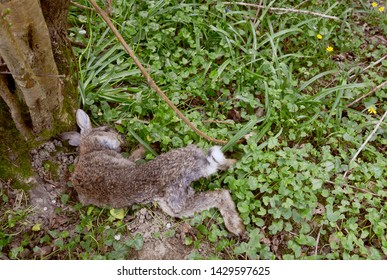 Dead wild rabbit lying at the foot of a tree among celandine foliage