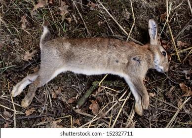 Dead wild rabbit with shotgun pellet wounds, shot as a pest by farmer