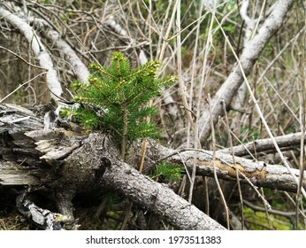 From dead wood becomes new life here a small fir tree