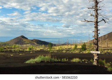 Dead wood - a consequence of a catastrophic release of ash during the eruption of the volcano in 1975 Tolbachik north breakthrough - Kamchatka
