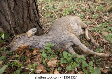 Dead young deer, resting against the base of a tree in a pine forest in England.