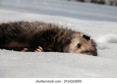 A dead, young Virgina opossum lies in a snowbank in Southwestern Ontario, Canada, February 2021. These opossums are Canada's only marsupial species.