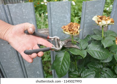 Deadheading roses. Deadheading is one of the easiest forms of pruning.