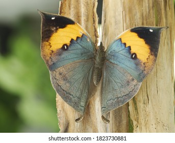 Dead-leaf or orange oakleaf butterfly, Kallima inachus, found in Tropical Asia from India to Japan. With wings closed, it resembles a dry leaf with dark veins, spectacular example of camouflage.