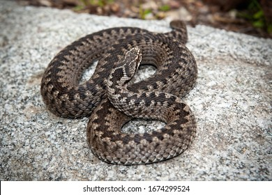 Deadly common viper, vipera berus, hiding on stone in nature. Poisonous animal lying in nature from top view. Full body of a brown adder basking in wilderness.