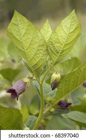 Deadly Nightshade - Atropa belladonna