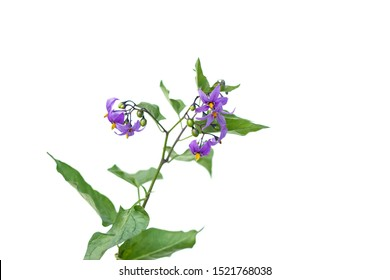 Deadly Nightshade flowers on stem with green leaves Isolated on white background. berries are poisonous and are used for treatment in alternative medicine
