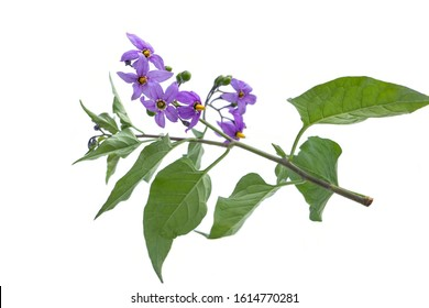 Deadly nightshade isolated on white. Violet flower solanum dulcamara. berrie are poisonous, used in alternative medicine