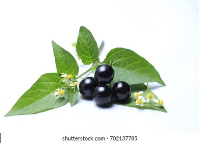 Deadly nightshade,(eggplant) A weed found in the wilderness,Birdwing fruit The nature of the fruit is spherical. It is about 4-7 mm wide,Used as a cure for breast cancer. Cervical cancer