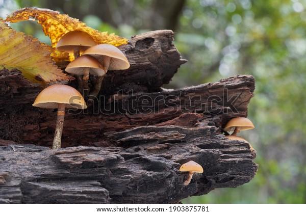 deadly-poisonous-mushroom-galerina-margi