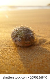 The deadly puffer fish on the beach. Puket Thailand. 20 April 2017