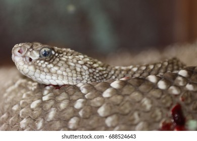 A Deadly Snake coiled after killing prey at East London Snake Park in South Africa