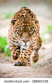 Deadly Wild Jaguar Run Toward The Camera With His Ferocious Look Pointing The Photographer