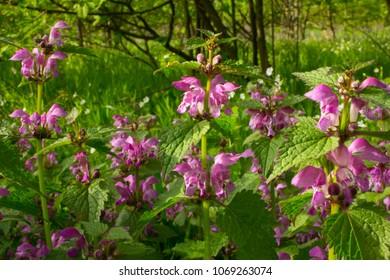 Deadnettle, dead-nettle - a good honey plant and herb.