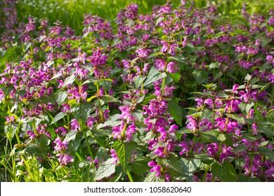 Deadnettle, dead-nettle It is used in alternative medicine.