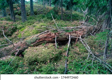 Deadwood in boreal forest of coniferous trees in summer. Decomposing fallen spruce tree in lying on moss-covered forest floor. Decomposing trees are valuable habitat for many species of organisms.