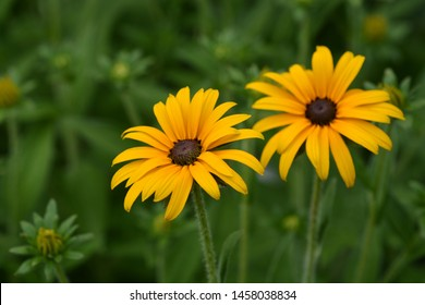 Deams coneflowers - Latin name - Rudbeckia fulgida var. deamii (Syn. Rudbeckia deamii)