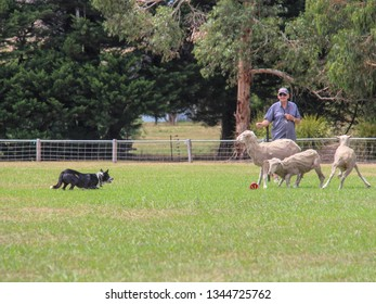 Deans March, Victoria - January 20 2018 Sheepdog trials at Deans Marsh Recreational Reserve. This event runs for three days each year.
