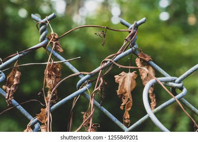 Dear dried morning flory vines on a chain link fence with trees