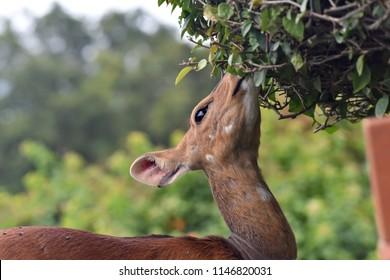 Dear eating leaves
