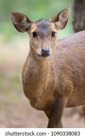 Dear portrait in nature, dear head with eye contact on blurry shallow background, Wildlife animal, herbivore