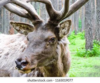 Dear portrait in nature. Wild dear.