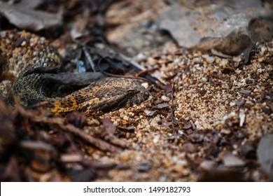 death adder hiding's on the ground