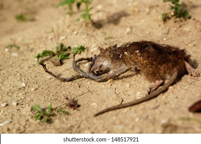 death body of rat lying outdoors